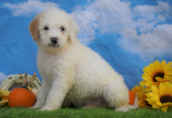 Mini Bernedoodle For Sale Sugarcreek, OH Male- Koda