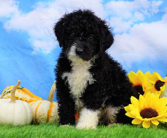 Mini Bernedoodle For Sale Sugarcreek, OH Male- Tucker