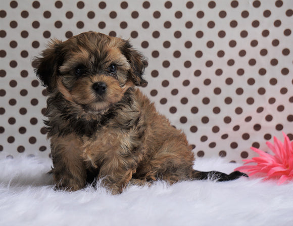 Cavapoo For Sale Fredericksburg, OH Male- Cody
