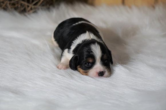 AKC Registered Cavalier King Charles Spaniel For Sale Fredericksburg, OH Female- Lucille