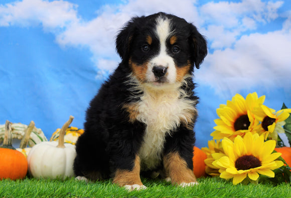 AKC Registered Bernese Mountain Dog For Sale Sugarcreek, OH Male- Seth