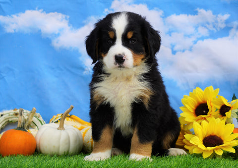 AKC Registered Bernese Mountain Dog For Sale Sugarcreek, OH Male- Silas