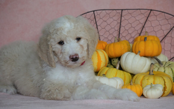 Standard Sheepadoodle For Sale Baltic, OH Female- Angel