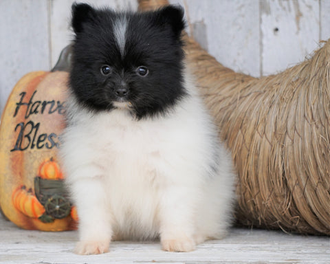 ACA Registered Pomeranian For Sale Millersburg, OH Female - Sandy