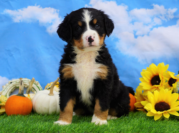 AKC Registered Bernese Mountain Dog For Sale Sugarcreek, OH Female- Skylar