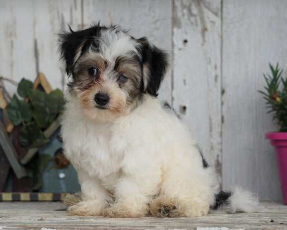 Teddy Bear Puppy For Sale Millersburg, OH Male- Jaxson