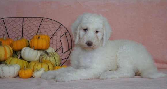 Standard Sheepadoodle For Sale Baltic, OH Female- Daisy