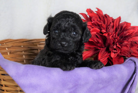 F1B Micro Mini Goldendoodle For Sale Fredericksburg, OH Female- Alexis