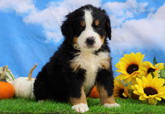 AKC Registered Bernese Mountain Dog For Sale Sugarcreek, OH Male- Shane