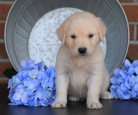 AKC Registered English Cream Golden Retriever For Sale Fredericksburg, OH Male- Muffin