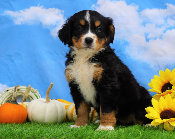 AKC Registered Bernese Mountain Dog For Sale Sugarcreek, OH Female- Sadie