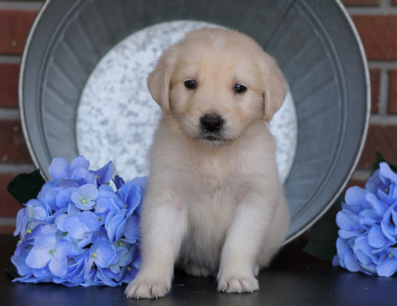 AKC Registered English Cream Golden Retriever For Sale Fredericksburg, OH Male- Sparky