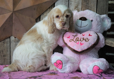 AKC Registered Cocker Spaniel For Sale Wooster, OH Male- Bubba