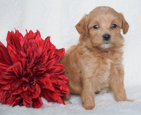 F1B Micro Mini Goldendoodle For Sale Fredericksburg, OH Female- Ashley