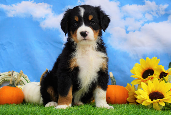 AKC Registered Bernese Mountain Dog For Sale Sugarcreek, OH Female- Sophie