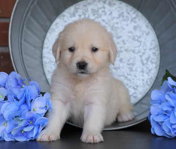 AKC Registered English Cream Golden Retriever For Sale Fredericksburg, OH Male- Walter
