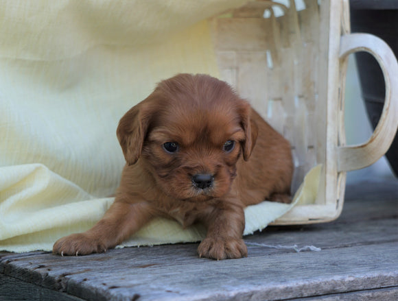 AKC Registered Cavalier King Charles Spaniel For Sale Holmesville, OH Female- Gail
