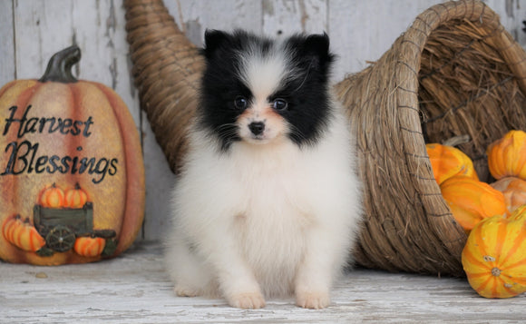 ACA Registered Pomeranian For Sale Millersburg, OH Female - Julie