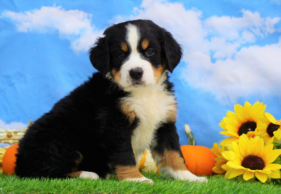 AKC Registered Bernese Mountain Dog For Sale Sugarcreek, OH Male- Sawyer