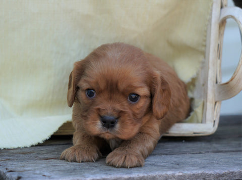 AKC Registered Cavalier King Charles Spaniel For Sale Holmesville, OH Male- Gordon