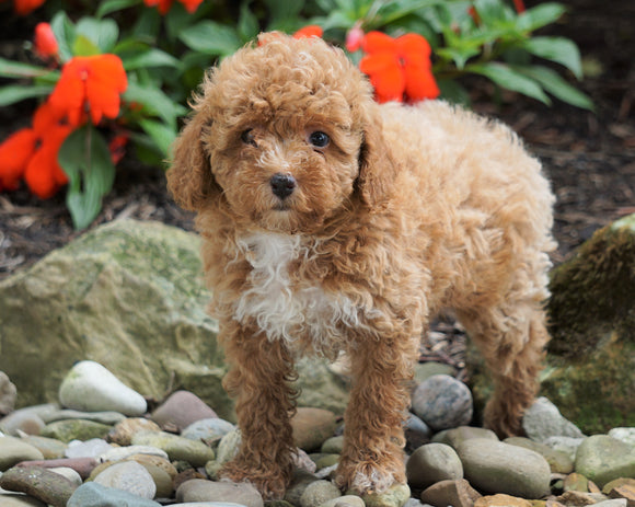 ACA Registered Toy Poodle For Sale Millersburg, OH Female- Molly