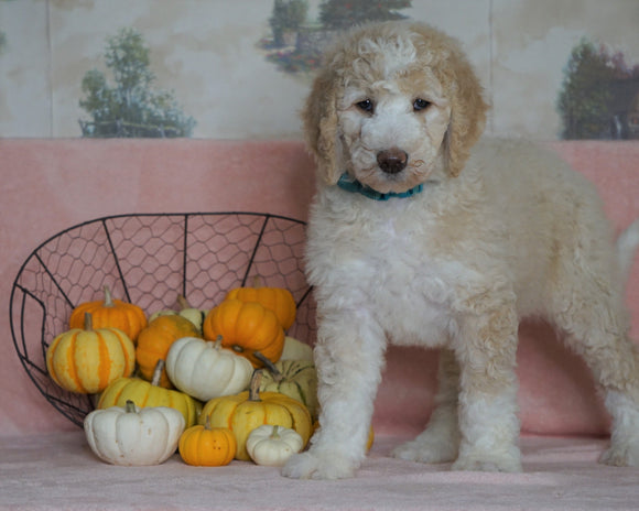 Standard Sheepadoodle For Sale Baltic, OH Female- Cinnamon