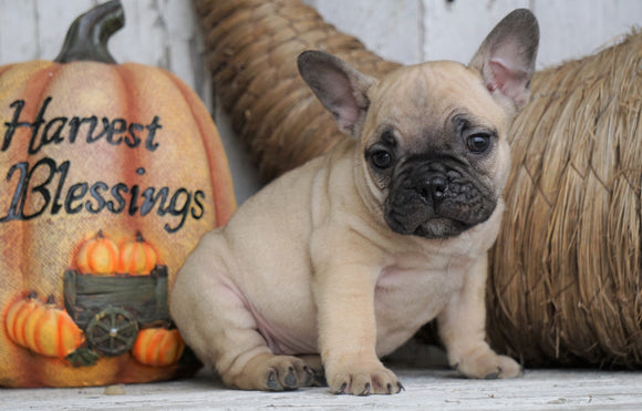 French Bulldog Mix Puppy For Sale Millersburg, OH Female - Tiny