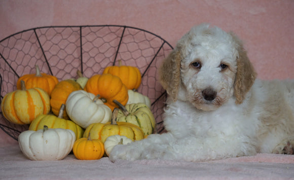 Standard Sheepadoodle For Sale Baltic, OH Male- Frankie