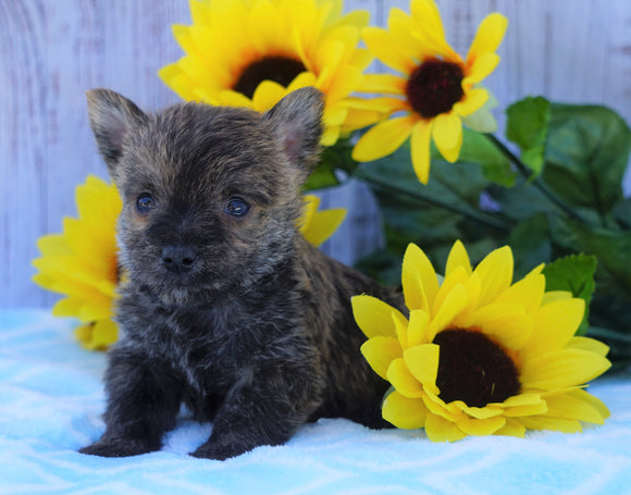 AKC Registered Cairn Terrier For Sale Millersburg, OH Male- Winston