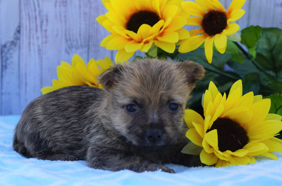 AKC Registered Cairn Terrier For Sale Millersburg, OH Male- Oreo