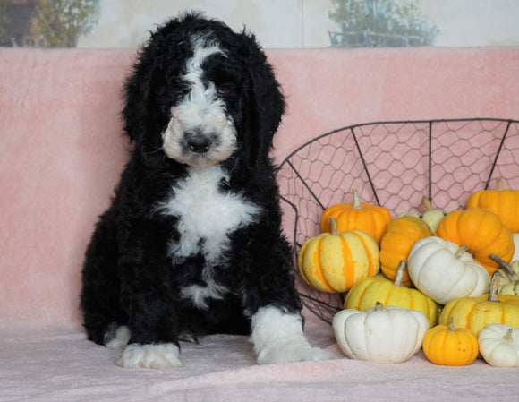 Standard Sheepadoodle For Sale Baltic, OH Male- Frisky