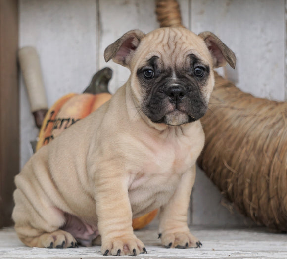 French Bulldog Mix Puppy For Sale Millersburg, OH Male - Max