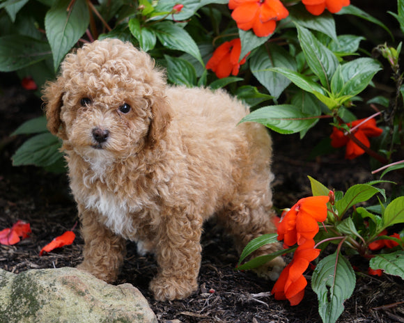 ACA Registered Toy Poodle For Sale Millersburg, OH Female- Missy