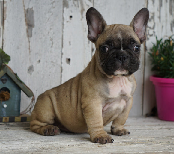 AKC Registered French Bulldog For Sale Millersburg, OH Male- Peter