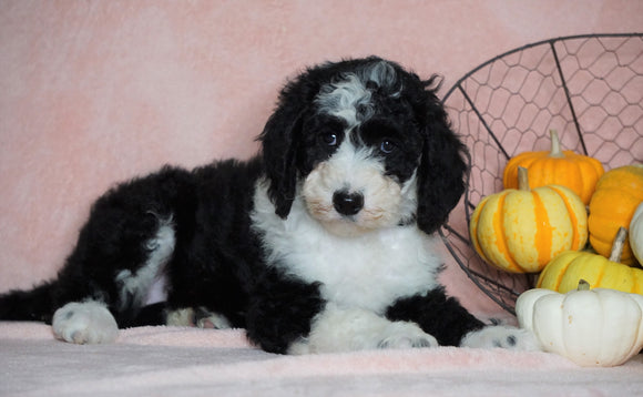 Standard Sheepadoodle For Sale Baltic, OH Female- Missy