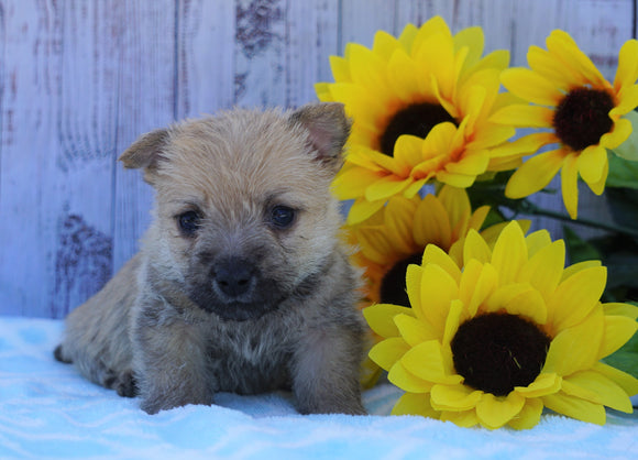 AKC Registered Cairn Terrier For Sale Millersburg, OH Male- Bingo