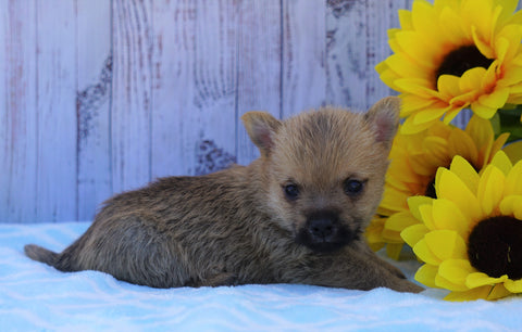 AKC Registered Cairn Terrier For Sale Millersburg, OH Male- Roscoe
