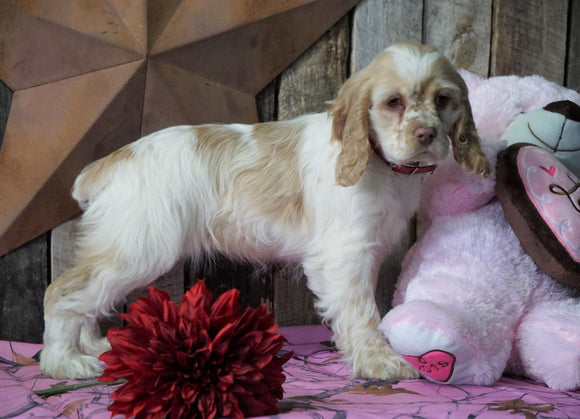AKC Registered Cocker Spaniel For Sale Wooster, OH Female- Goldie