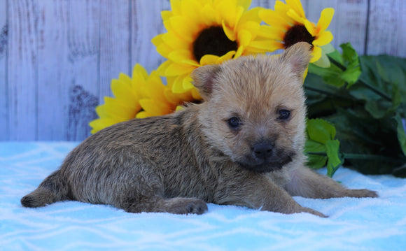 AKC Registered Cairn Terrier For Sale Millersburg, OH Female- Chloe