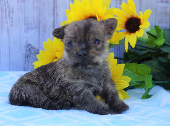 AKC Registered Cairn Terrier For Sale Millersburg, OH Female- Twlight