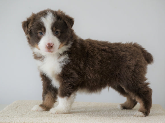 Mini Australian Shepherd For Sale Loudenville, OH Male- Royal