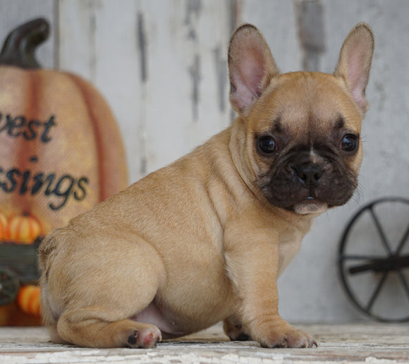 AKC Registered French Bulldog For Sale Millersburg, OH Female- Lucy
