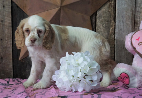 AKC Registered Cocker Spaniel For Sale Wooster, OH Female- Gloria