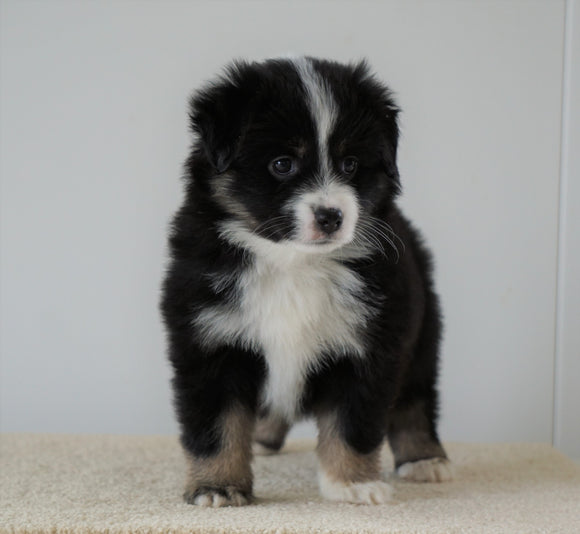Mini Australian Shepherd For Sale Loudenville, OH Female- Reba