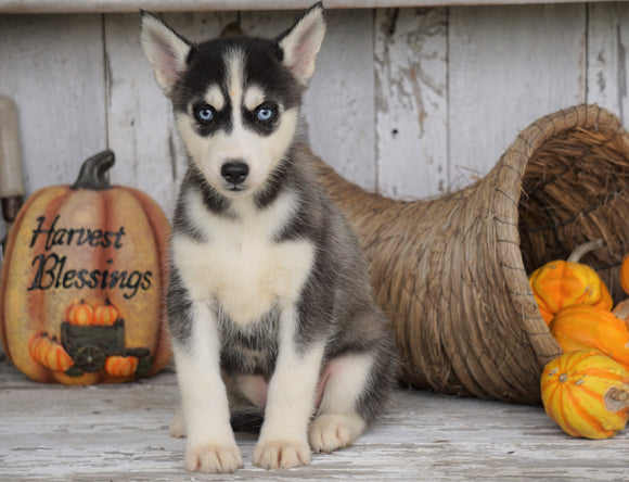 AKC Registered Siberian Husky For Sale Millersburg, OH Female - Linda