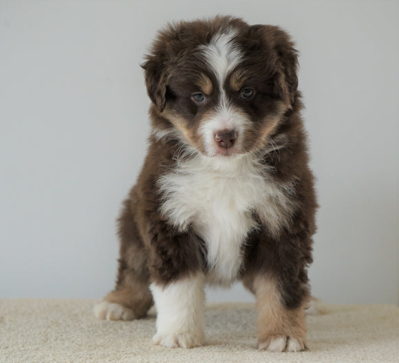 Mini Australian Shepherd For Sale Loudenville, OH Female- Julie