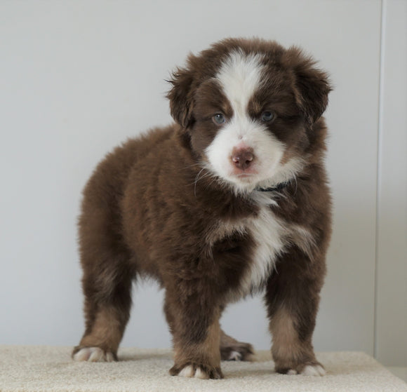 Mini Australian Shepherd For Sale Loudenville, OH Male- Brady