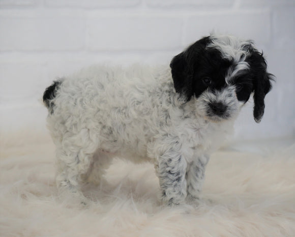 Cockapoo For Sale Dundee, OH Female- Addy