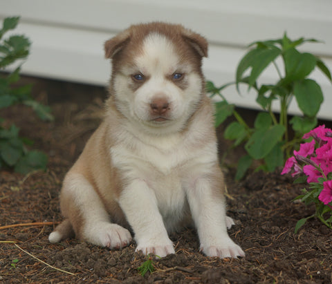 AKC Registered Siberian Husky For Sale Millersburg, OH Male- Dakota