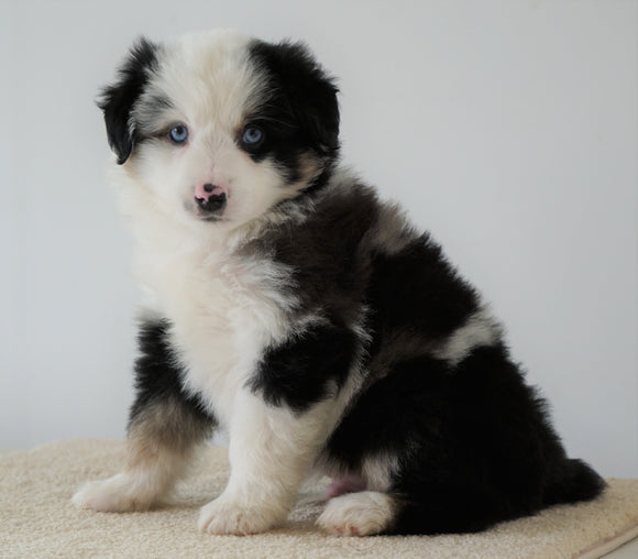 Mini Australian Shepherd For Sale Loudenville, OH Male- Cody *BLUE EYES*